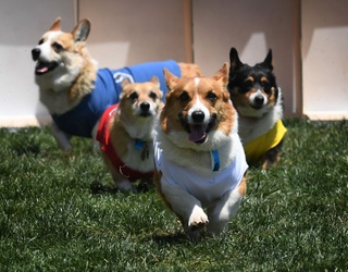 Earn Yourself Some Belly Rubs by Acing Our Corgi Trivia