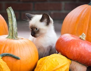 Few Things Are Cuter Than This Cats & Pumpkins Memory Match