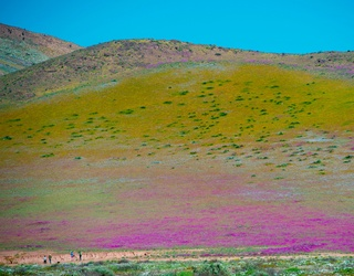 The Driest Desert on Earth Has Erupted Into a Blooming Field of Flowers