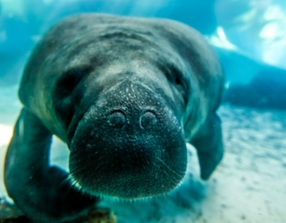 We'll All Float on Once We've Matched All the Manatee Pairs