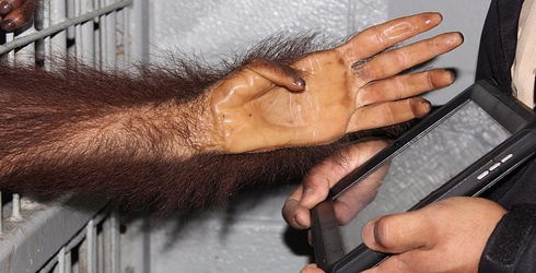 This Orangutan Is Looking for Love on Tinder and Darwin Is Rolling Over in His Grave