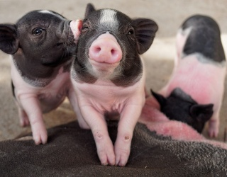 Let the Smooching Piglets in This Puzzle Help Cheer You Right Up