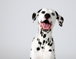 You're Not Seeing Spots; It's a Dalmatian Memory Match