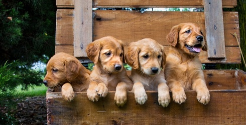 Unscramble This Puzzle of a Bunch of Sweet Golden Retriever Puppies