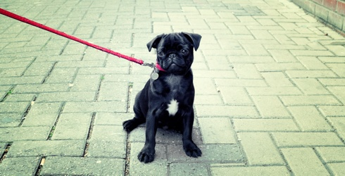 Figuring Out Your Love Language, as Told by Pugs