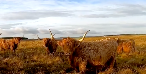 Who Would Have Thought That a Video of Cows Could Be so Mesmerizing