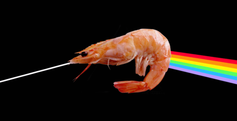 An Incredibly Loud Shrimp with a Bright Claw Was Just Named After Pink Floyd