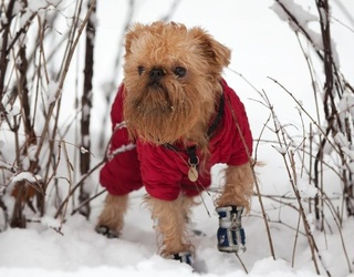 12 Videos of Dogs Walking Awkwardly in Boots