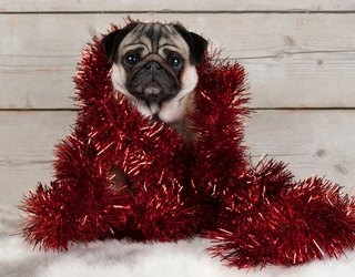 Here's a Memory Match of Christmas Pugs Because Why Not