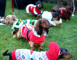 The Annual London Christmas Sausage Dog Walk Was a Spectacle of Wiener Wonder