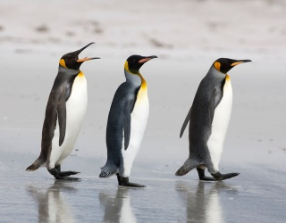 No Asking Friends for Help on This Penguin Trivia!