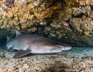 Myth Mayhem: Do Sharks Really Eat Their Siblings?