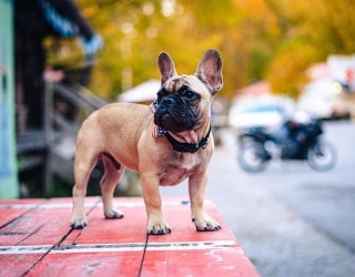 Can We All Agree This French Bulldog Mayor Is the Best Dog for the Job?