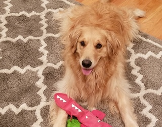 #PetStats: This Golden Retriever Loves Nights in With Her Kennel Relax'n Chardonnay
