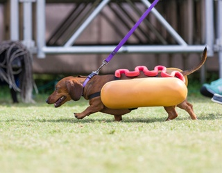 Cabinet of Curiosities: What Came First, the Dachshund or the Hot Dog?