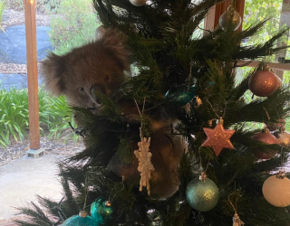 This Koala Just Became Everyone's Christmas Mascot
