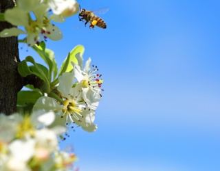 Do You Know What a Honey Bee's BEE-autiful Benefits Are?