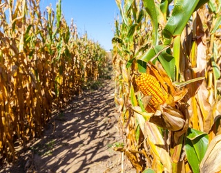 Can You Find Your Way out of This Corn Maze Puzzle?