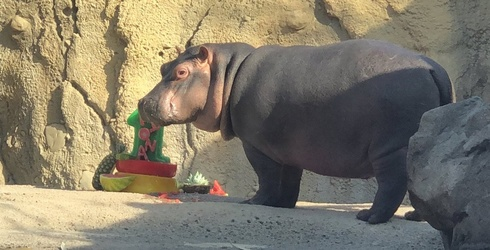 Tell Me Why I'm Jealous of Fiona the Hippo's Birthday Party This Weekend