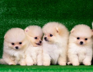 Say This Five Times Fast: This Puzzle Is Packed With Poofy Pomeranians
