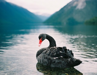 Germany's Quest to Find One Lonely Black Swan a Friend Has a Fairytale Ending