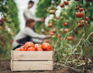 Bizarre History: The Story of the Tomato -- From Poisonous to Aphrodisiac to Food Staple