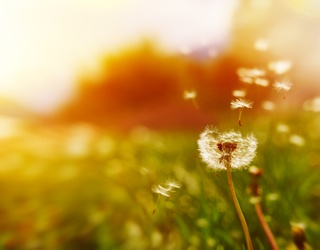 Help Pick Through the Dandelions in This Memory Match