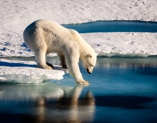 Find Some Snow to Roll In and Ace This Polar Bear Trivia