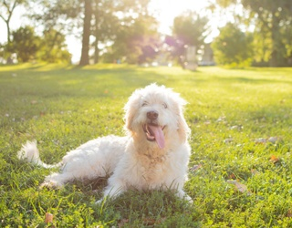 Celebrate the Perfection That Is the Labradoodle With This Memory Match