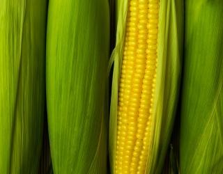 Aww, Shucks! Unscramble This Corn on the Cob Puzzle