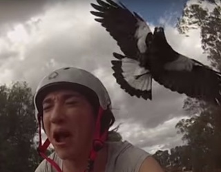 For Two Months a Year, Australians Live in Constant Fear of Swooping Bird Attacks