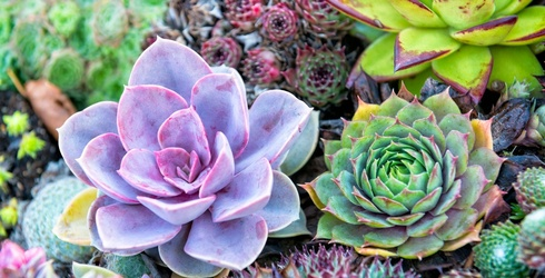 These Succulents Can Predict Which Essential Oil You Need in Your Life