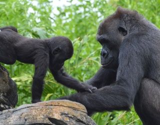 Monkey Around With This Puzzle to Help Wish Grace the Gorilla a Happy First Birthday!