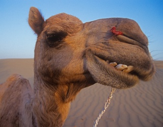 Saudi Arabian Camel Beauty Competition Tainted by Botox Usage