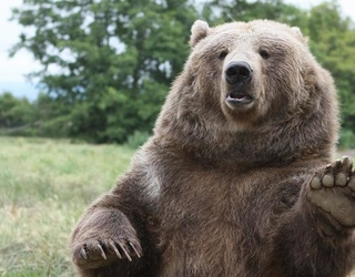 Bear Serves as Ringbearer at Russian Couple's Wedding,  Steals the Show