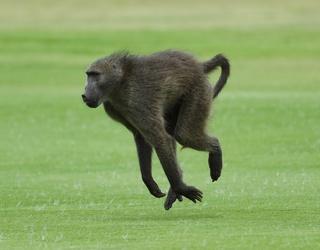 50 Baboons Escape from Paris Zoo Enclosure, Mayhem Ensues as Zoo Shuts Down