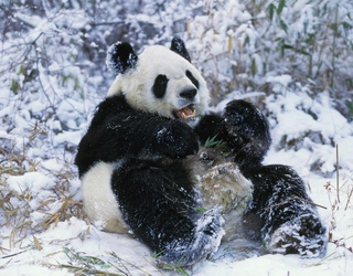 We Applaud the Childlike Enthusiasm These Pandas Have for a Snowstorm