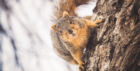 Sugar-High Squirrel Attacks Police After Breaking Into a Home and Gorging on Cookies