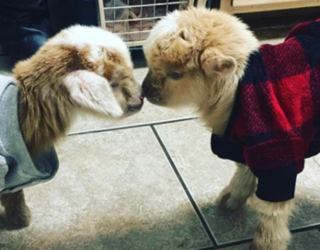 We Now Interrupt Your Regularly Scheduled Programming to Bring You This Memory Match of Goats in Pajamas